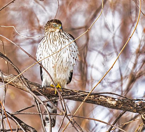 Sharp-shinned Hawk - Irondequoit - © Clyde Comstock - Dec 18, 2020