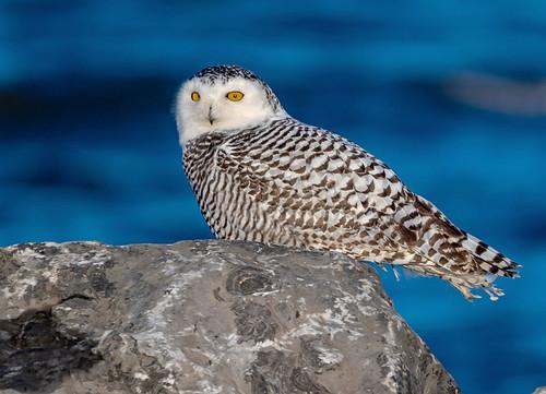 Snowy Owl - Braddock Bay East Spit - © David Laiacona - Dec 18, 2020