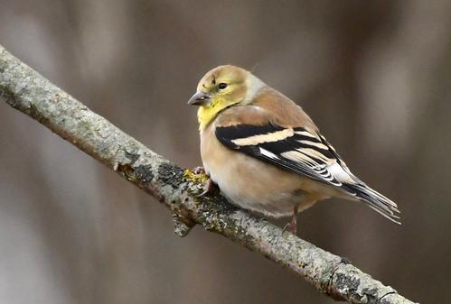 American Goldfinch - Mendon Ponds - © Alan Bloom - Dec 14, 2020