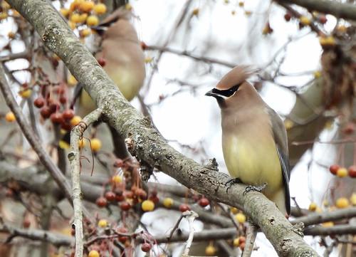 Cedar Waxwing - Webster Park - © Candace Giles - Dec 16, 2020