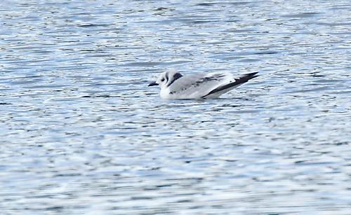 Black-legged Kittiwake - Newport Marina - © Rosemary Reilly - Dec 18, 2020