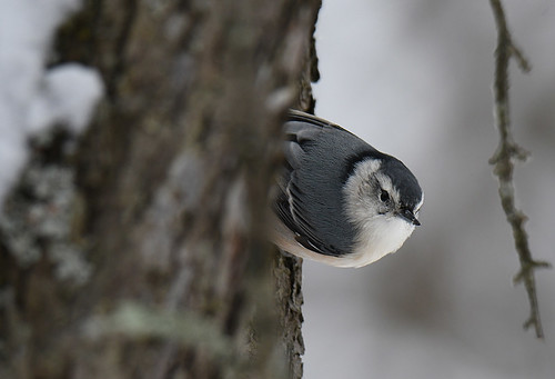 White-breasted Nuthatch - Mendon Ponds - © Dick Horsey - Dec 18, 2020