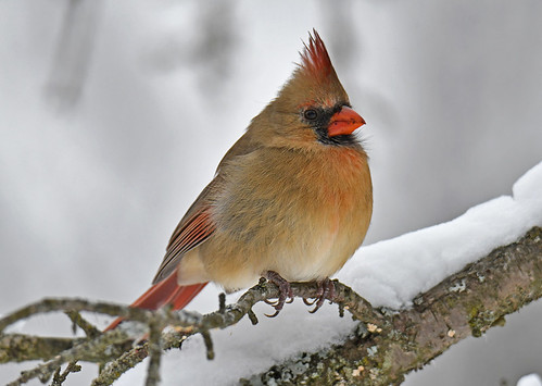 Northern Cardinal (F) - Mendon Ponds - © Dick Horsey - Dec 18, 2020