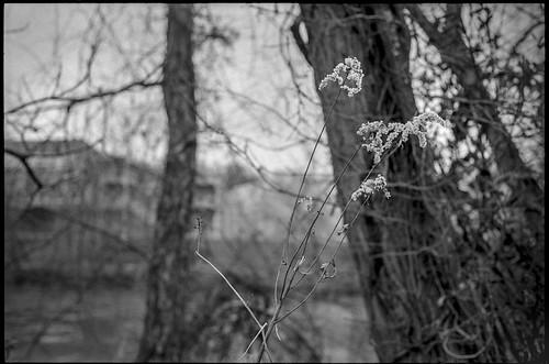 winterlandscape wildflowers dried treetrunks barebranches frenchbroadriver asheville northcarolina minoltaxgm superalbinon28mmf28 ilfordfp4 moerschecofilmdeveloper 35mm 35mmfilm film analog slr