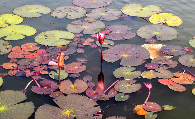 Angkor Wat, Cambodia - Lily Pads in the moat show an array of circular colours!