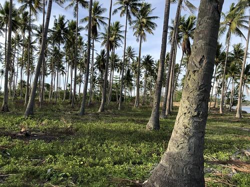 Vroegere Australische begraafplaats, nu kokokbomen geplant door bevolking, Morotai