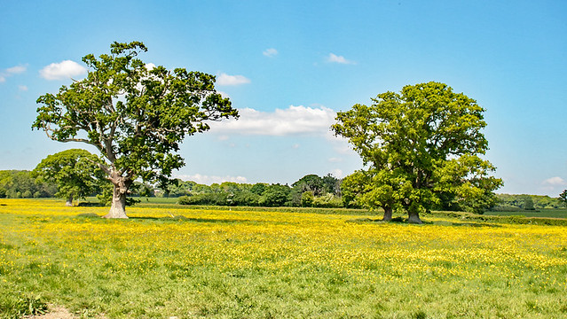 Springtime oak trees and buttercups