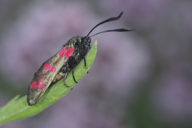 Six-spot Burnet Moth - Zygaena filipendula