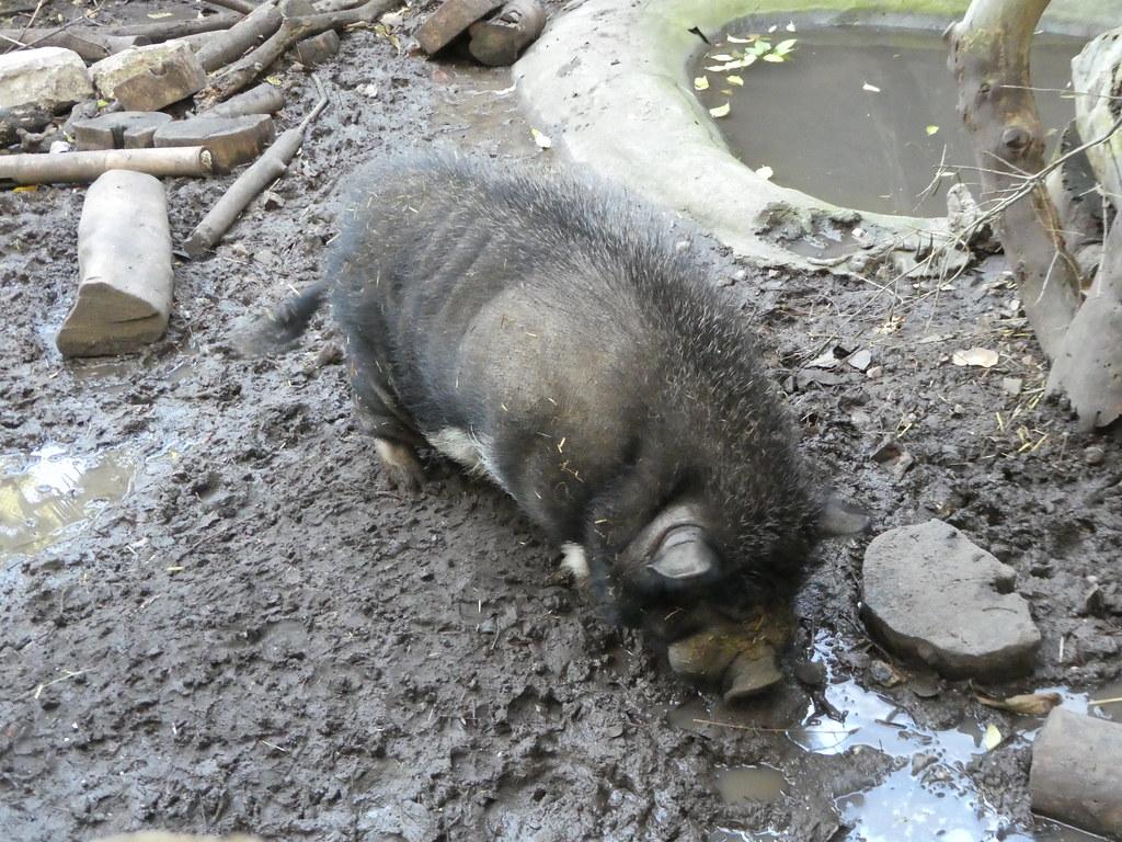 Pot bellied pig in the Alameda Wildlife Park, Gibraltar
