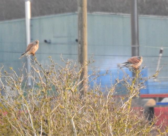 Pair of Kestrels In Bush Viewpoint - Lamesley