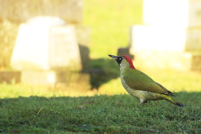 Green Woodpecker at Ann's Hill Cemetery, Gosport