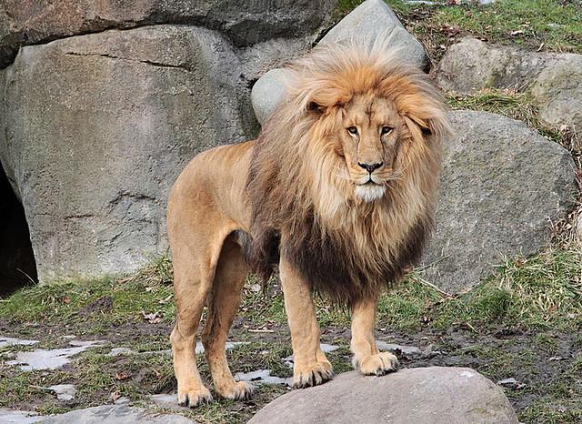 Matadi the Lion