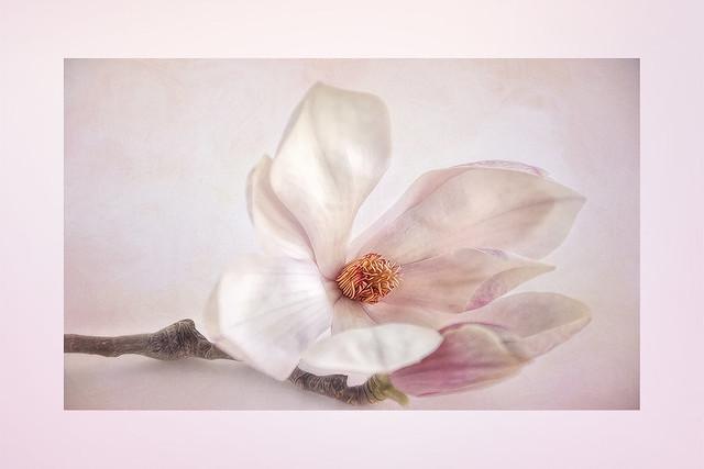 Delicate Magnolia Blossoms