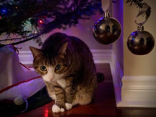 Amelia cat under Christmas Tree