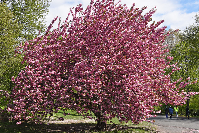 Picture Of A Pink Cherry Blossom Tree Taken In Central Park In New York City. Photo Taken April 27, 2019