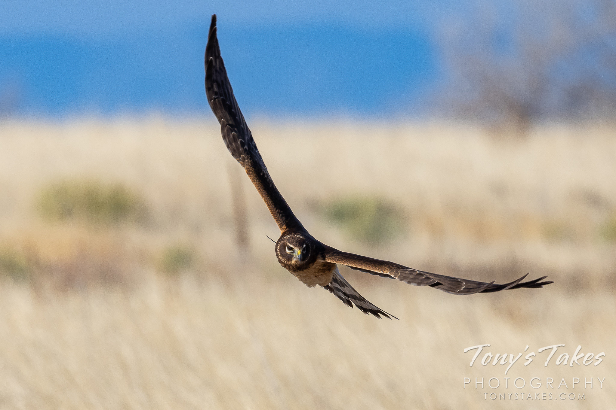 Female northern harrier puts on a show