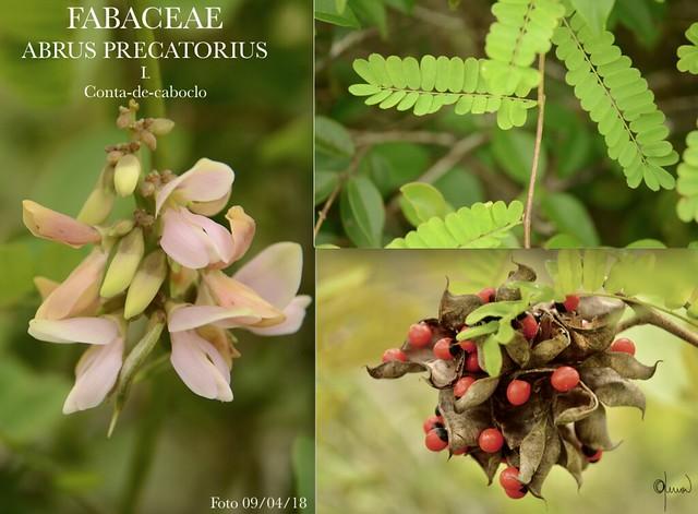 Abrus precatorius L. Fabaceae