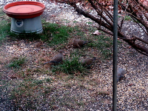 a flock of mourning doves