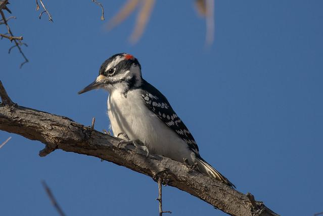 Determined Hairy Woodpecker