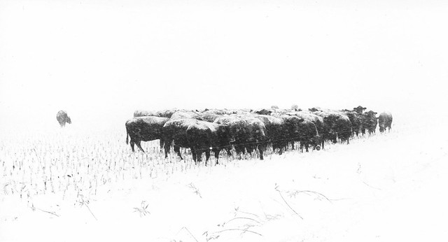 455 - Cattle not practicing social distancing - except one
