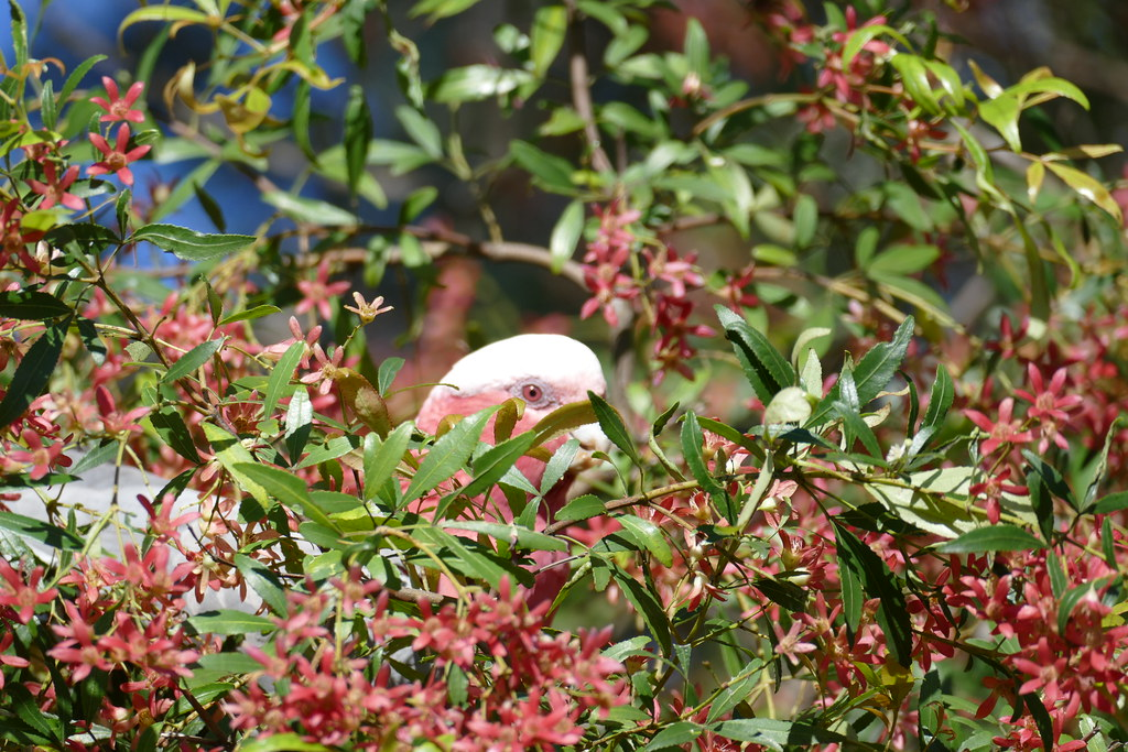 Christmas Bush-New South Wales-Galah