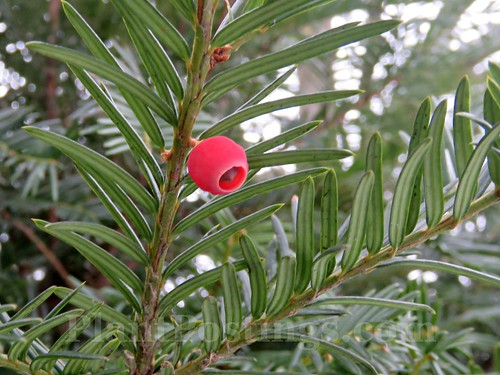 yew berries | by PlantPostings