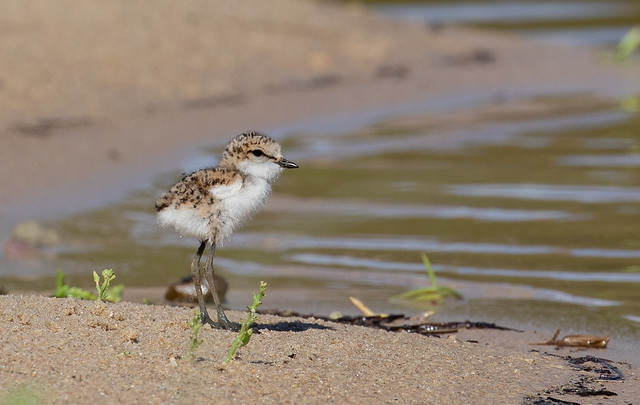 red-capped plover (Charadrius ruficapillus)-1425