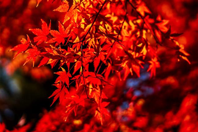 Autumn leaves at Hase-dera Temple : 長谷寺紅葉