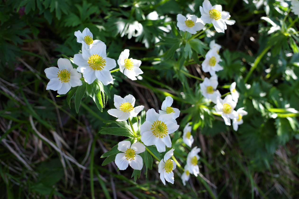権現岳に咲くハクサンイチゲ