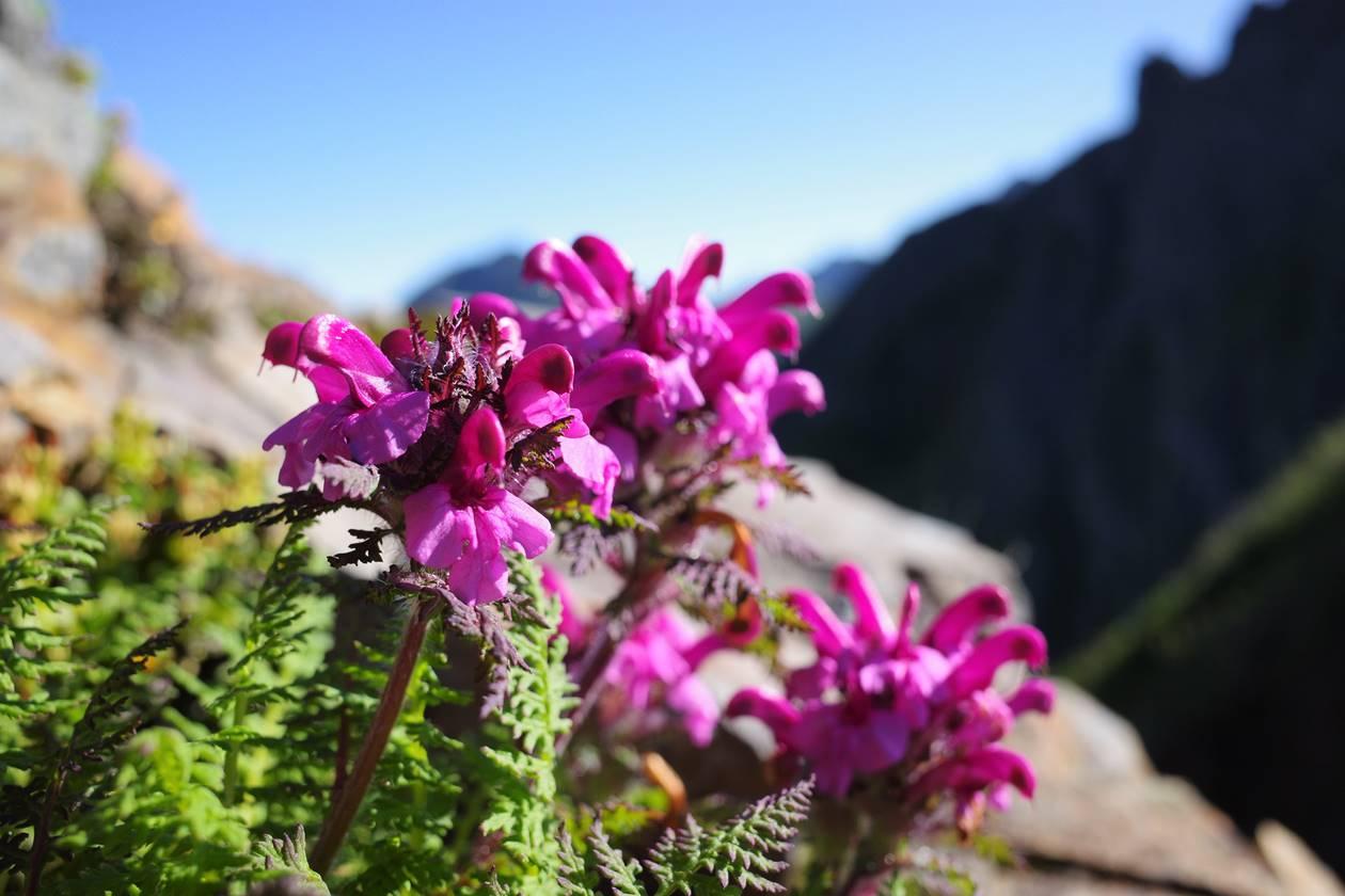 権現岳に咲くミヤマシオガマ