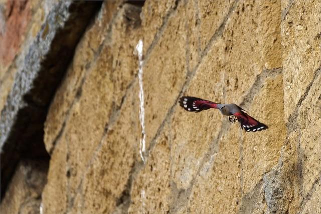 Tichodrome échelette - Tichodroma muraria - Wallcreeper
