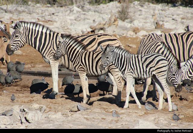 Zebras & Guineafowl, Etosha NP, Namibia