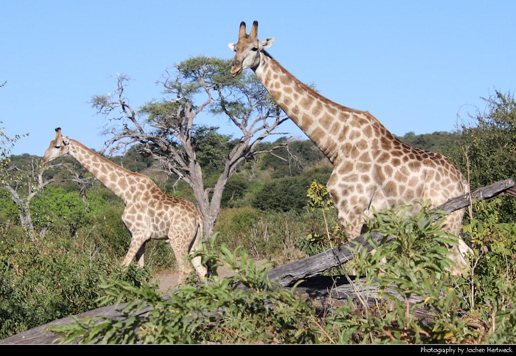 Giraffes, Chobe NP, Botswana
