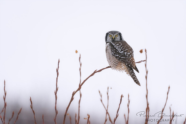 Northern Hawk Owl - Chouette épervière