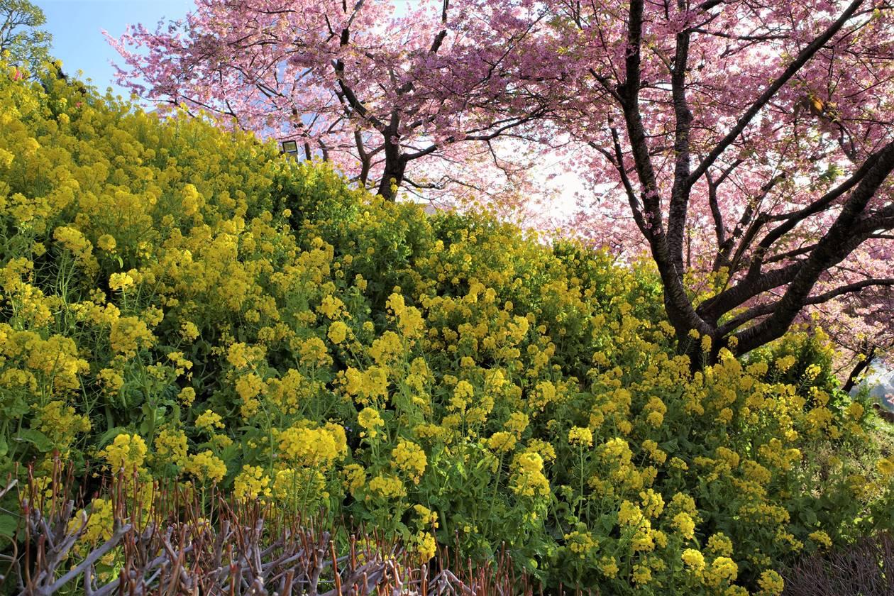 【丹沢】松田山の河津桜と菜の花(さくら祭り)