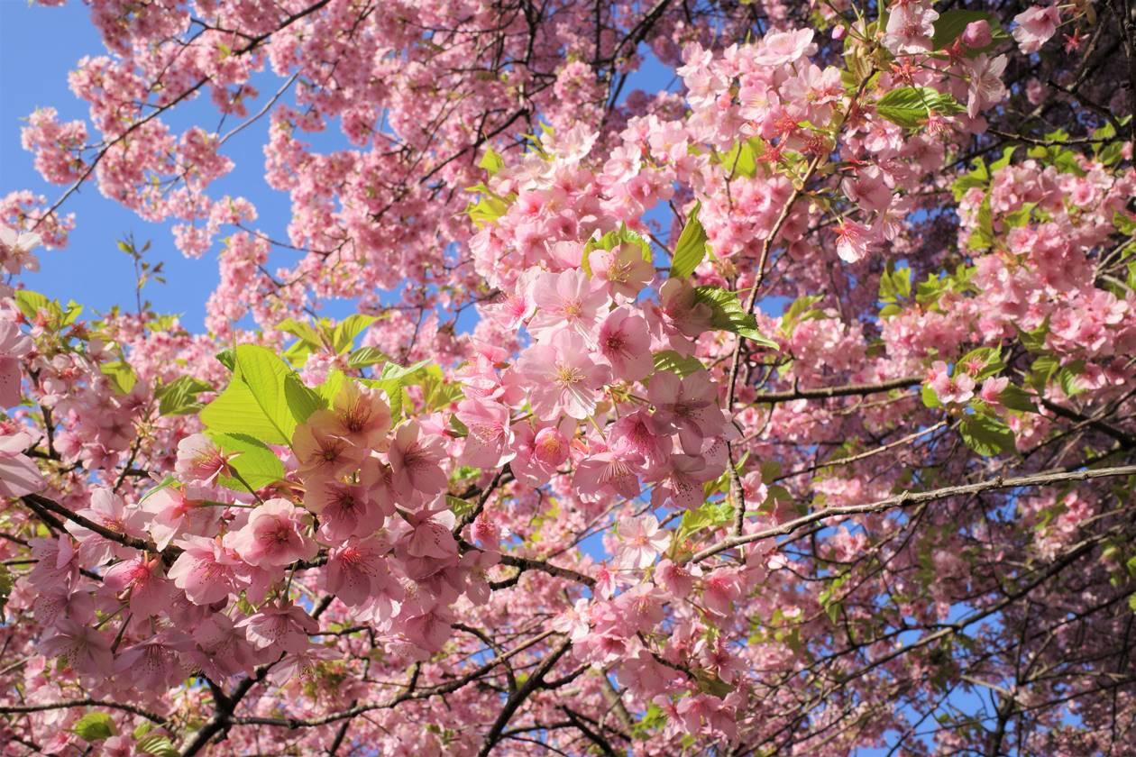 【丹沢】松田山の河津桜(さくら祭り)