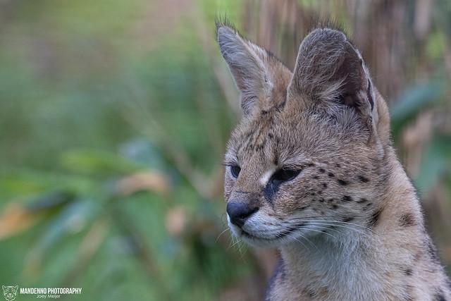 Serval - Faunapark Flakkee - The Netherlands