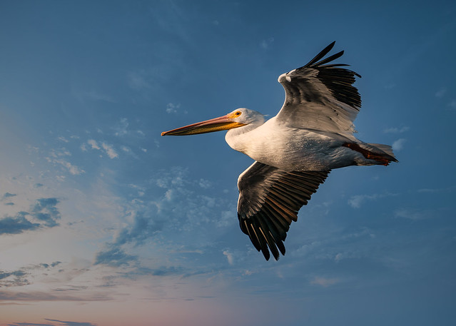 American White Pelican (Perlecanus erythrorhynchos)