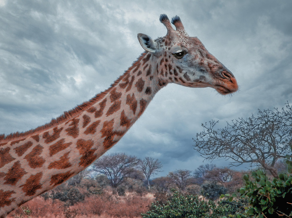 La girafe triste... 50751418621_495589655e_b