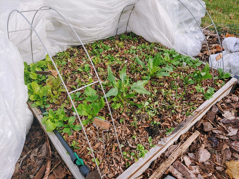 Front-right lettuce bed still going