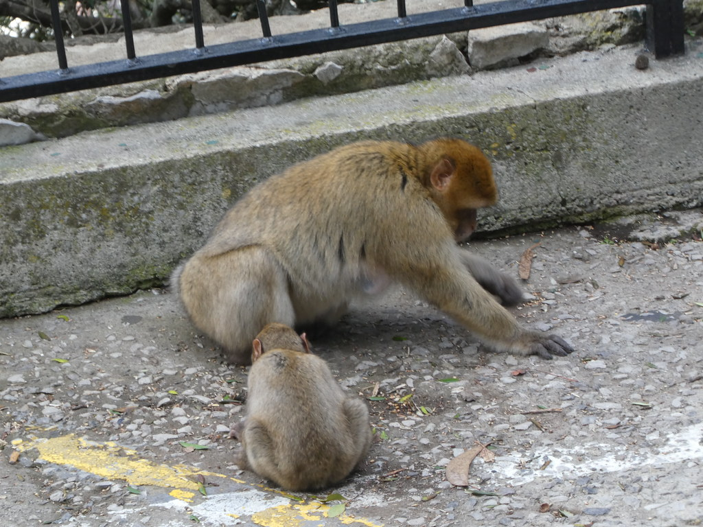 Barbary macaques at the Top of the Rock, Gibraltar