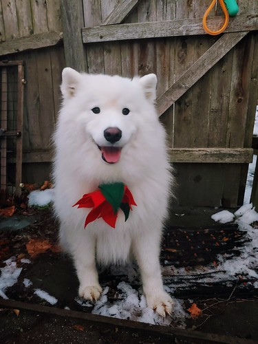 Felt Poinsettia on a dog.