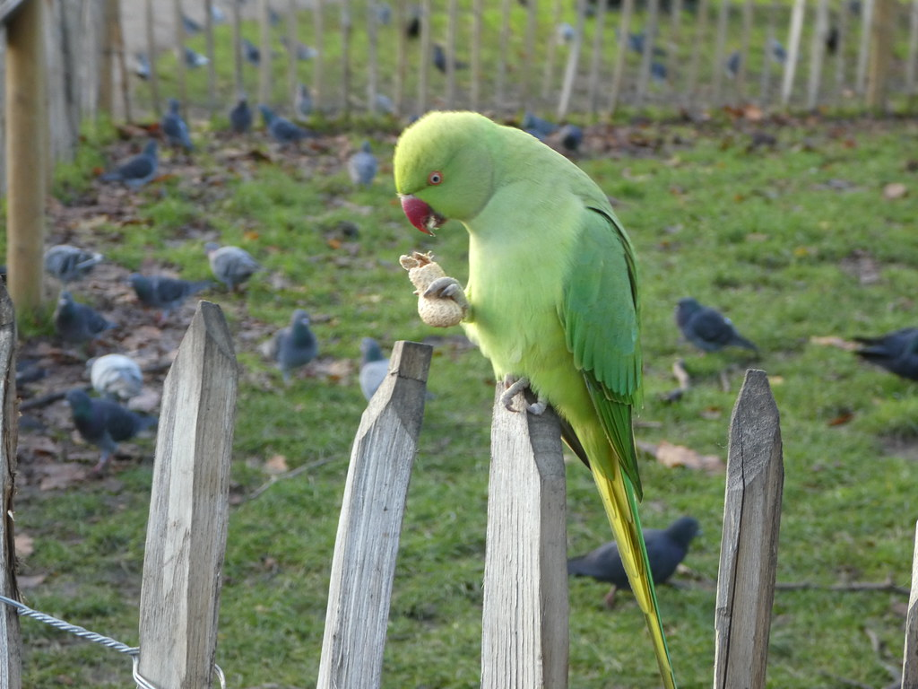 Parakeet in Hyde Park, London