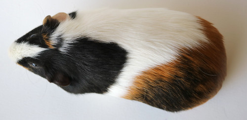 Guinea Pig Reference #1