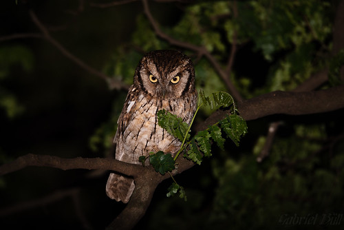 Tropical Screech-Owl - Corujinha-do-mato (Megascops choliba) | by Gabriel Büll