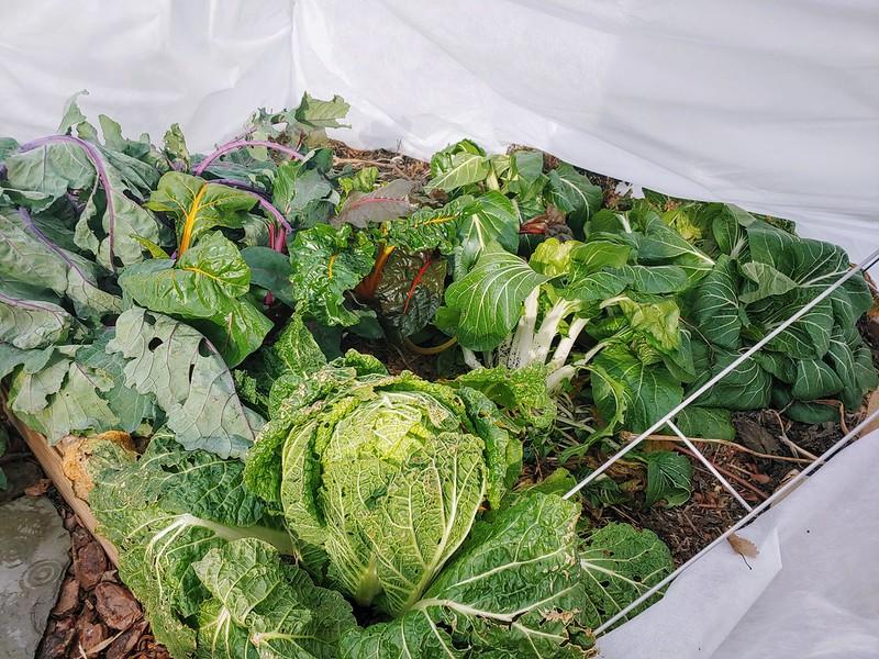 Back-left veggie bed still going