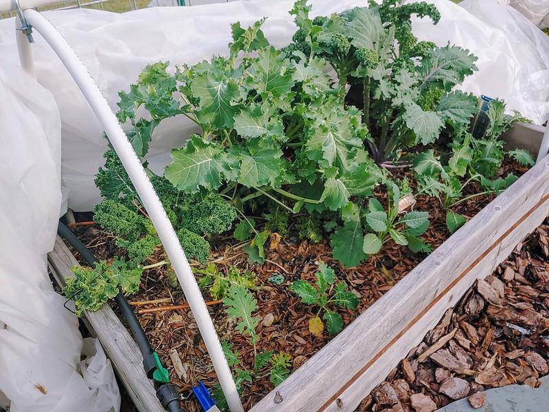 Front-center kale bed still going