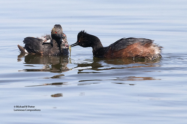 Eared Grebe adult with three young on back — one getting fed by second adult