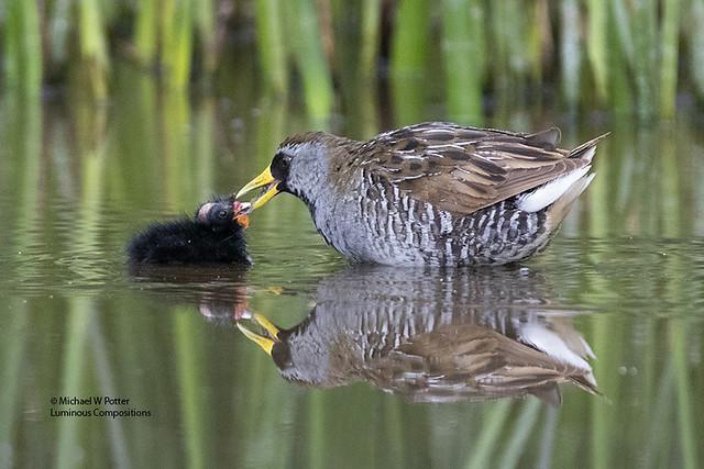 Sora adult feeding young, reflection