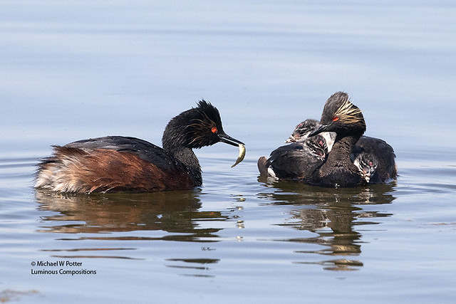 Eared Grebe adult with three young on back, second adult with fish